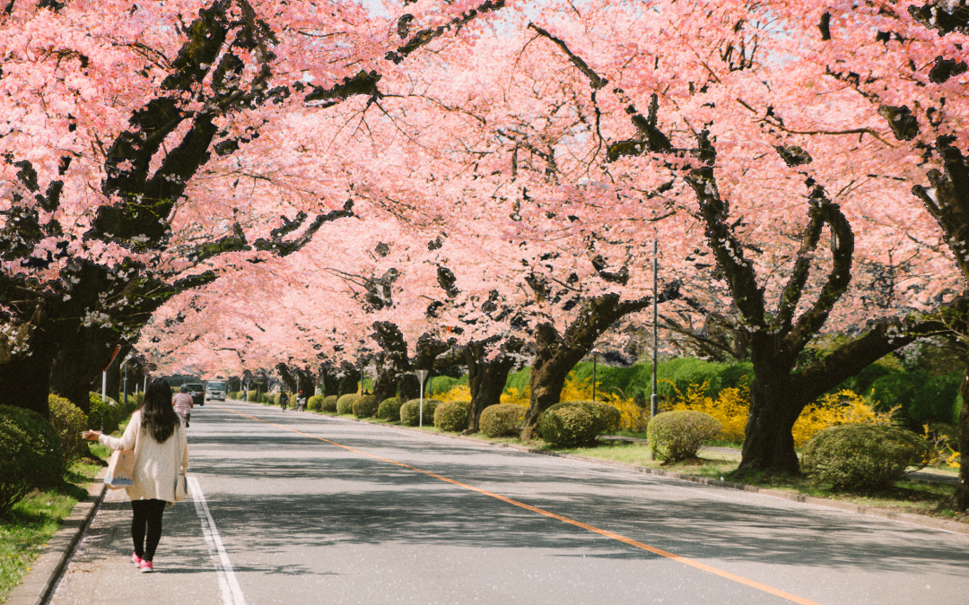 The Best Places to See the Cherry Blossoms in Japan